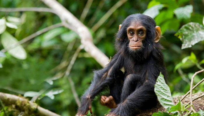 chimp track