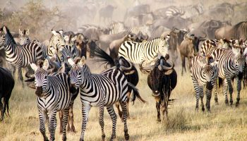 The big migration, Serengeti National Park, Tanzania