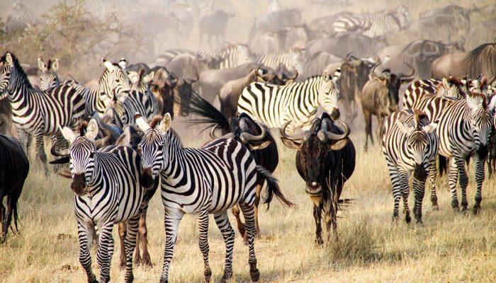 The big migration, Serengeti National Park, Tanzania