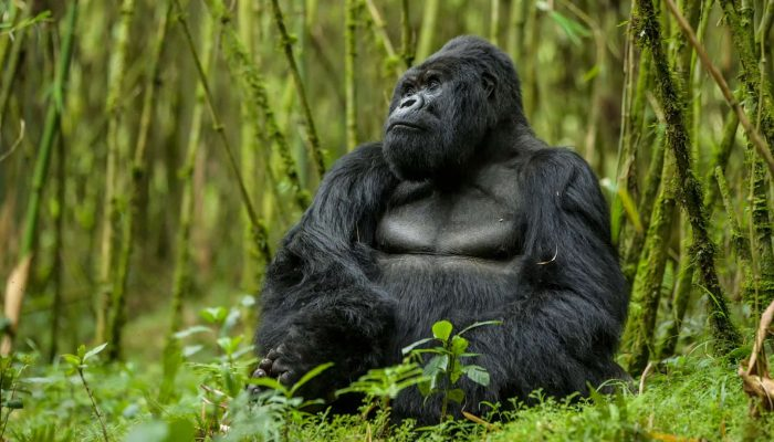 tracking gorila