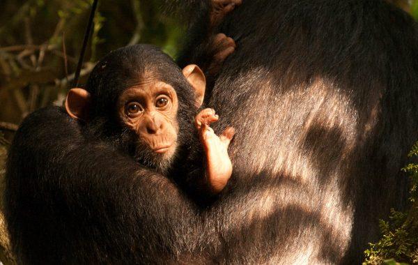 ug chimps